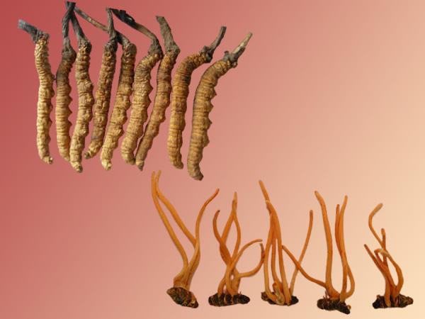 Đông trùng hạ thảo tự nhiên và Đông trùng hạ thảo được nuôi trồng