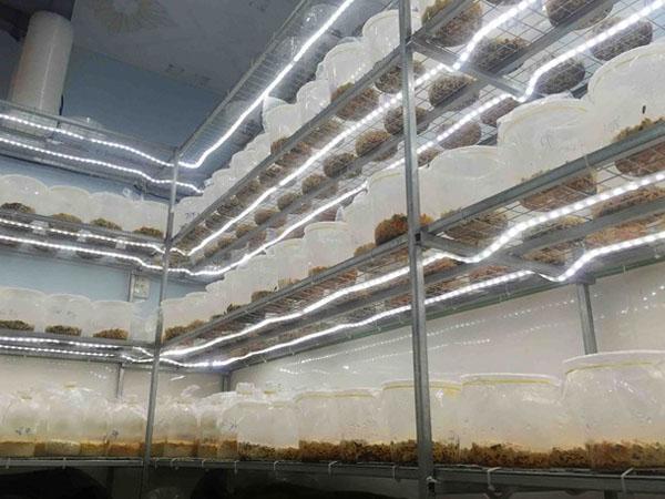 Phòng nuôi cấy Đông trùng hạ thảo